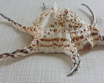 Large Sea Shells, Spider Conch Shell, Large Shells, Specimen Seashells, Beach Decor, Nautical Decor, Coastal Decor