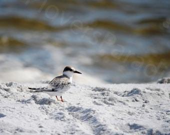 Least Tern Chick on Beach // Fledged Shorebird on Pensacola Beach // Florida Beach Bird Photography