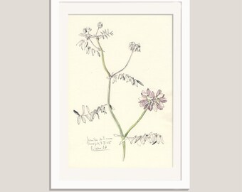 "Flower drawing Violet Vetches #2- pencil and watercolor drawing - ORIGINAL botanical art (8 x 11"") Floral still life by Catalina S.A"