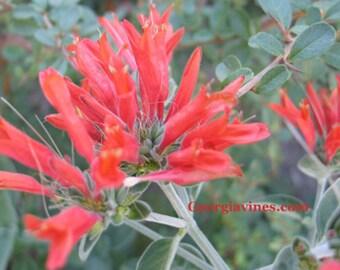 Dicliptera suberecta  Kings Crown Hummingbird plant