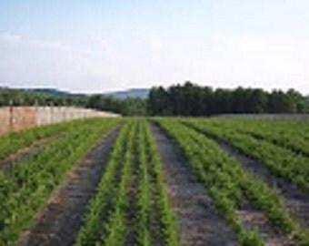 Balsam Fir Seedlings 10 pack
