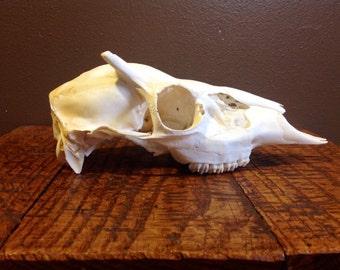 Button Buck Skull