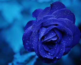 Blue Rose with Water Droplets. Print/Poster. (002403)