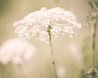 Floral Photo, White Flower Nature Photography, Queen Anne's Lace, Blooms Botanical Flowers Fine Art Photo Shabby Print Summer Home Decor