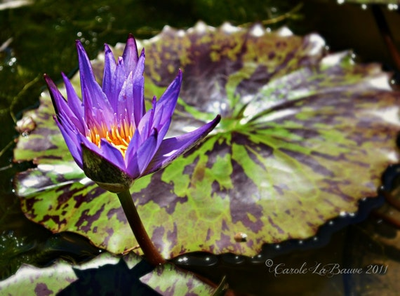 PURPLE LOTUS FLOWER in Bloom ~ Aquatic Garden ~ Water Lily ~ Vibrant Color or Black and White ~ Floral Wall Art ~ Fine Art Photography