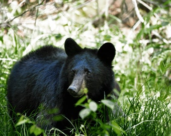 Bear in the Spring Grass