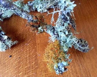 Lichen growing on wood sticks. Terrarium supplies
