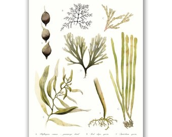 Seaweed of Australia | A3 Art Print