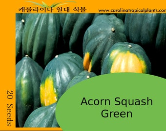 Green Acorn Squash Seeds - 20 Seed Count