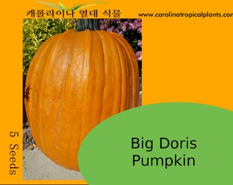 Big Doris Pumpkin Seeds - 5 Seeds