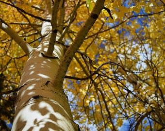 Fall Aspen Tree w/ Yellow Foliage print. Autumn, Canvas photo print. Canvas Photography. Wall Art. 8x10, 11x14, 16x20, 20x24.