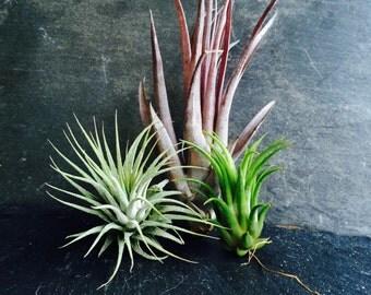 set of three Air Plants, Tillandsia collection.