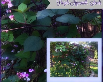 Purple Hyacinth Seeds