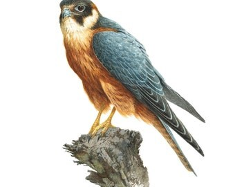 Falcon, bird print, bird of prey, raptor, bird painting, hobby