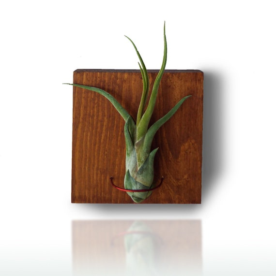 Air plant wooden wall planter tillandsia wall decor home for Air plant wall art