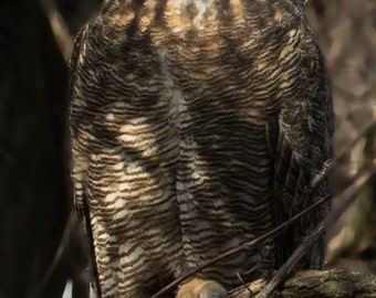 Great horned owl -  Owl Photography - Wall Art