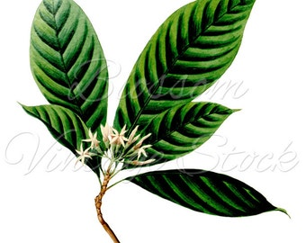 Leaves Image, Botanical Illustration, Leaves Clipart, Vintage Prints, PNG Leaves - Digital Antique Illustration  INSTANT DOWNLOAD - 1109
