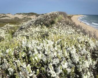 Beach Plum Blooms