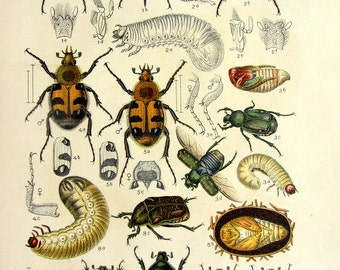 1912 Differents species of beetles antique color lithograph, vintage INSECTS color print, bee beetle potosia COLEOPTERA  scarabs entomology.