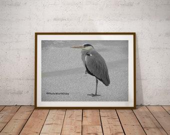 Grey heron, Blue heron, Heron in winter, heron au hiver, Reiher