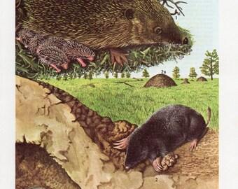 Mole and Hedgehog Print - 1960's Animal Lithograph, Moles, Mole, Hedgehog, Hedgehogs, Hedgehog Print, Mole Print, Cute Hedgehog, Cute Mole