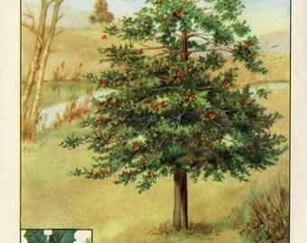 Vintage 1926 American Trees  Original Bookplate Illustration, Print, American Holly, Holly Tree, Tree Print, Wall Decor