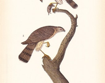 1890 Audubon Bird Print - Sharp Shinned Hawk - Vintage Antique Book Plate for Natural Science History Lover Great for Framing 100 Years Old