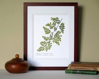 Pressed fern print, 11x14 double matted, Southern Maidenhair Fern, woodland fern, wall decor no. 006