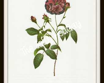 Vintage Redoute Rose Print, Burgundy and Green, Botanical Book Plate, Art Print, Pierre Joseph Redoute 1978
