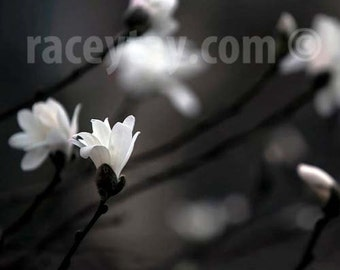 Flower Photography, White Magnolia, Brown, Black, White, Bedroom Wall Art, Nature Photography Large Wall Art