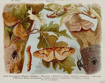 1989 Antique BUTTERFLY  lithograph, BUTTERFLIES and cocoon, caterpillar, silkworm, moth,  fine Entomology art print