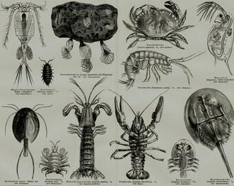 1889 CRUSTACEANS Antique print of crab, barnacles, shrimp, crayfish,  lobster