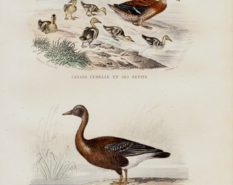 1848 Antique print of a  female duck with her lovely ducklings, goose. Fine hand colored victorian engraving. Original antique