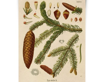 Botanical Norway Spruce Tree Diagram Print. Educational Chart Diagram Poster Kohler's Botanical. Medicinal Plant Guide evergreen - CP281