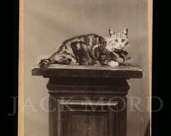RESERVED / Do Not Buy // Antique CDV Photo: Cat on Plinth