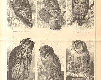1893 Owls, Short-eared Owl, Barn Owl, Tawny Owl, Eagle Owl, Little Owl, Northern Hawk Owl Original Antique Engraving to Frame