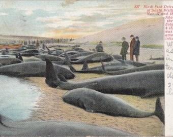 Black Fish Driven Ashore- 1900s Antique Postcard- South Wellfleet- Cape Cod, Mass- Whaling Industry- Massachusetts History- Paper Ephemera