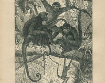 1889 Spider Monkeys Antique Engraving,  Black and White Vintage Animal Print