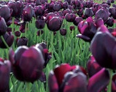 Black Tulips in Oregon Fi...
