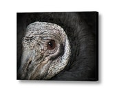 Wildlife American Black Vulture Bird of Prey Raptor Carnivore Fine Art Photography on Giclee Gallery Wrap Canvas