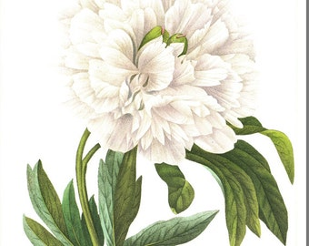 Vintage botanical art White peony poster White Peony print Flower poster Floral decor French country decor Redoute flower art