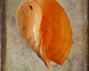 Melo Melo Seashell, Still Life Photography, Photography, Beach Photography, Nature Photography, Seashell Photography