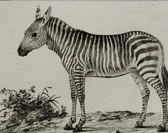 1826 Antique print of a ZEBRA. African fauna. Natural History. Zebras. 190 years old gorgeous Buffon copper engraving  .