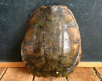 "Vintage Turtle Shell, Real Turtle Shell, 13"" Carapace, Large Snapping Turtle Shell, Vintage Taxidermy, Great Decor Piece, Natural Curiosity"