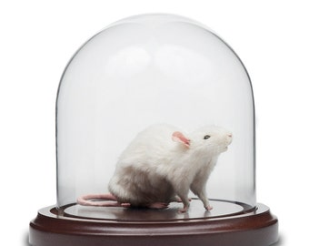 Taxidermy White Mouse in Bell Jar Glass Dome