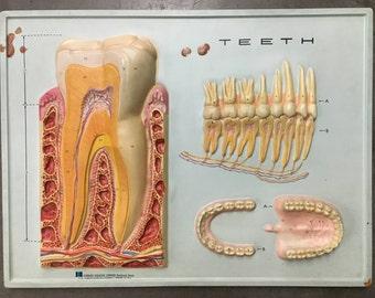 Vintage 3D Anatomy Chart- Teeth