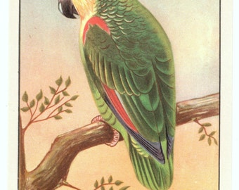 Vintage Blue-Fronted Amazon Parrot Postcard. Artist rendering, lightly embossed.