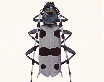 vintage beetle insect art print grey gray black Rosalia longicorn alpina home decor 8x10 inches