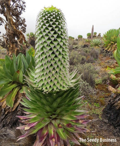 Giant Lobelia (Lobelia Deckenii) Viable Seeds