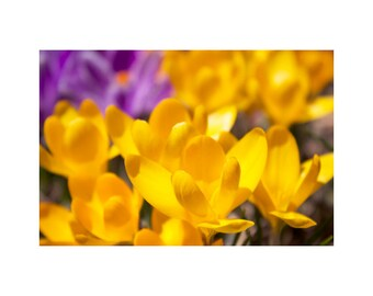 Spring Art, Spring Photography, Yellow Wall Art, Nature Art Prints, Crocuses, Happy Spring Flowers, Large Floral Art, Fine Art Print